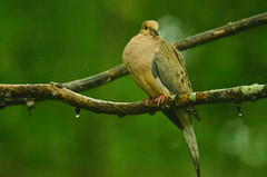 Mourning Dove in the morning (joebrantleyjr) Tags: mourning dove bird rain