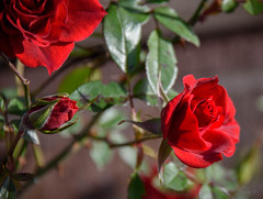 Lovely Red Rose (Jocey K) Tags: newzealand nikond750 christchurch flower rose