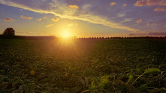 And it burns, burns, burns... (Renate Bomm) Tags: 7dwf abend hitze landschaft renatebomm sigma16mmf1 sigma16mmf14dc sommer sonne sonnenuntergang sonyilce6000 zuckerrüben landscape sun august 2018 saturday itburns ngc