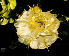 Downy-Thorn-Apple Ballerina Yellow. (rumerbob) Tags: flower floral flowergarden fauna botany botanicalgardens botanical macro macroflower macrophotography nature naturewatcher naturephotography canon7dmarkii canon100mmmacrolens longwoodgardens