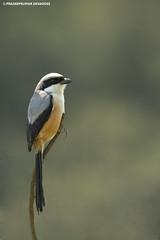 Long-tailed Shrike (pradeepkumar.devadoss) Tags: longtailedshrike