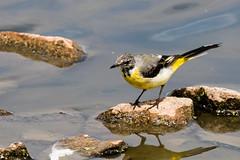 IMG_7795.jpg (TonyJ 3006) Tags: birds greywagtail places slimbridge