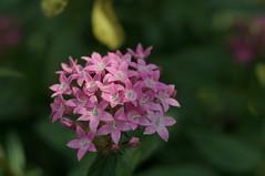 DSC08270- Pink Pentas Ianceolata (oliveplum) Tags: gardensbythebay leica60f28macro sony singapore flowerdome orchidextravaganza bokeh