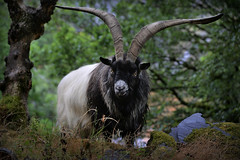 Arnold (PentlandPirate of the North) Tags: dinorwic goats feral mountain welsh dinorwig snowdonia northwales wild