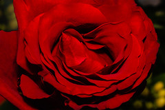 Love me tender! (Bela Bodo) Tags: red rose flower romance valentine macro petal