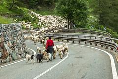 Traffic jam... (holecem) Tags: italy saintbernard switzerland border trafficjam sheeps animals agriculture
