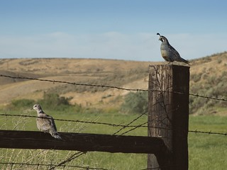Quail and Dove on Fence 9487 B