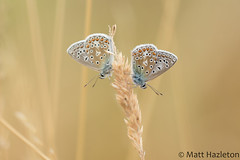 Common blue (Matt Hazleton) Tags: commonblue butterfly insect wildlife nature animal outdoor macro canon canoneos7dmk2 canon100mm 100mm eos 7dmk2 matthazleton matthazphoto polyommatusicarus bcnwildlifetrust northamptonshire summerleys