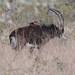 ippotragus niger (Sable Antelope)