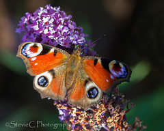 Peacock Butterfly (StevieC - Photography) Tags: glasgowherald published heraldscotland scotland steviec butterfly inachisio peacockbutterfly