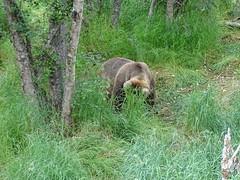 DSC07539 (jrucker94) Tags: alaska katmai katmainationalpark nationalpark bear bears grizzly grizzlybear brooksriver nature outdoors