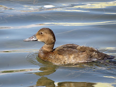Common Pochard, juvenile. (Vitaly Giragosov) Tags: commonpochard aythyaferina duck aquaticbirds sevastopol crimea blacksea rf севастополь крым водныептицы красноголовыйнырок чёрноеморе
