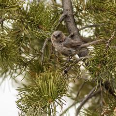 Bushtit (johnny4eyes1) Tags: hiking wild outdoors environment sedona arizona adventure nature bushtit rarebird rare