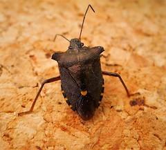 Red-legged Shieldbug, Pentatoma rufipes. dark form (gailhampshire) Tags: redleggedshielbug pentatomarufipesdarkformtaxonomybinomialpentatomarufipes explored