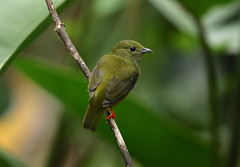 Female White-collared Manakin --- Manacus candei (creaturesnapper) Tags: birds costarica sarapiqui whitecollaredmanakin manacuscandei manakins