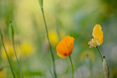 I am taking my clothing off... (setoboonhong) Tags: nature outdoor poppies flowers petals close up depth field bokeh blur colours sunlight hanover botanical garden germany travel