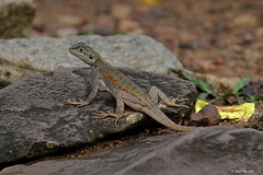 lézard non identifié /  Unidentified lizard (Laval Roy) Tags: reptiles ghana afrique africa eos7d ef300mm14lisextender14xiii lavalroy canon lézard lizard