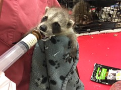 Each little life....is big to the one living it. (Peter Granka) Tags: raccoon wildlife rescue