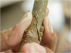 grafting (b. inxee♪♫) Tags: mulberry agriculture grafting
