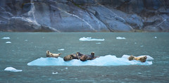 A lazy day like everyday (debamalya.chatterjee) Tags: ice seal seals aquaticanimal kenaifjord kenaifjordnationalpark sea water wildlife wildlifephotography wild nikon nature naturephotography
