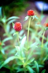 DSC03812 (Keishi Etoh rough-and-ready photoglaph) Tags: sony nex6 sonynex6 apsc nex fujiantvlensgds3535mmf17 fujian gds35 cctv cmount 525mm mf manualfocuslens primelens fixedfocallengthlens oldlens 単焦点 標準 flower