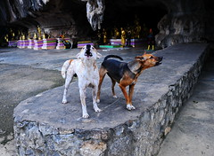,, Loony Toons ,, (Jon in Thailand) Tags: dog dogs k9 k9s themonkeytemple thehooligans junglecave dj angeleyes gold red yellow green purple nikon nikkor d300 175528 dogtails howlingdog barkingdog dogears funnydogs sillydogs realsillydogs bigchicken dogteeth littledoglaughedstories