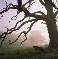 tree (steve-jack) Tags: hasselblad 501cm 80mm cb fuji velvia 100f mist fog hertfordshire tree tetenal e6 kit epson v500 6x6 120 mf medium format