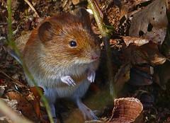 Rötelmaus (anubishubi) Tags: säuger säugetier kleinsäuger nager maus rötelmaus wald lumixfz150