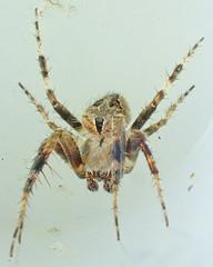 Larinioides sclopetarius (Clerck 1757) ♂ (Araneæ Araneidæ Araneinæ Mangorini) (Elena Regina) Tags: larinioides ♂ araneae araneidae araneinae mangorini animalia arthropoda arachnida chelicerata spider larinioidessclopetarius