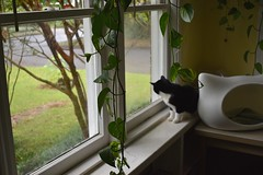Activity for a rainy day (rootcrop54) Tags: tina tuxedo female squirrel sunroom window hangingplant philodendron neko macska kedi 猫 kočka kissa γάτα köttur kucing gatto 고양이 kaķis katė katt katze katzen kot кошка mačka gatos maček kitteh chat ネコ o