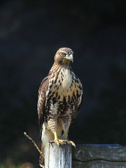 Red-tailed Hawk (Sandy Paiement) Tags: redtailedhawk buteojamaicensis