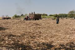 7. Loading for sugarmills,FFS, Ch. Malk Arain, MPK (wrafique) Tags: 2018 fao fss farming march2018 mirpurkhas pakistan sindh sroshanwarphotography gur rawproduct sugarecane
