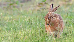Brown Hare Grazing (Steve (Hooky) Waddingham) Tags: animal countryside nature wild wildlife hare photography fast run