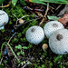 Puffball Mushroom and Them White Golf Balls