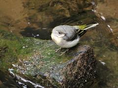 Grey Wagtail (Motacilla cinerea) (Jason Kernohan) Tags: greywagtail motacillacinerea wagtail wagtails bird birds riverstour kidderminster worcestershire wildlife
