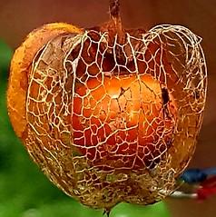 Orange seed (sandaodiatiu) Tags: wintercherry plant chineselatern perrenialplant seed biofruit macro lampionchinezesc medicinalplant