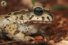 Karoo Toad - Vandiykophrynus gariepensis (Nicolauecology) Tags: amphibians frogs herping south africa karoo toad gariepensis