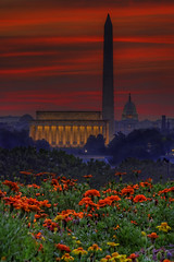 Flowers & DC skyline sunrise (paint filter) (cmfgu) Tags: arlington arlingtoncounty virginia va usa us unitedstatesofamerica american northernvirginia sunrise dawn twilight goldenhour clouds sky colorful washingtondc districtofcolumbia capital city skyline lincolnmemorial president abrahamlincoln washingtonmonument georgewashington capitol building flowers plants bed hdr highdynamicrange paletteknife paintfilter craigfildesfineartamericacom fineartamericacom craigfildespixelscom craigfildesphotography artist artistic photograph photo picture prints art wall canvasprint framedprint acrylicprint metalprint woodprint greetingcard throwpillow duvetcover totebag showercurtain phonecase mug yogamat fleeceblanket spiralnotebook sale sell buy purchase gift