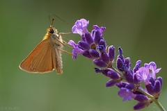 Dickkopffalter - Skipper Butterfly (MC-80) Tags: hesperiidae braunkolbiger braundickkopffalter dickkopffalter skipper butterfly