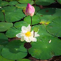 Four-generation family of lotus (minhty0602) Tags: lotus whitelotus vietnameseflower vietnameseflowersymbol nationalflower flowers leaf leave life green flowerbud lotusbud bud lotusshapedlampsupport vietnam