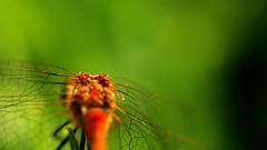 frame-000030 (Beaver-) Tags: macro dragonfly pickle tomato flower