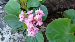 ... [Explore] (angeliquita) Tags: flor flores flowers jardin suelo planta rosado macro hierba motorolaxt1068