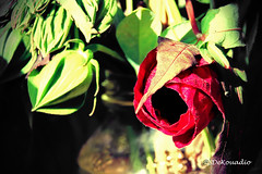 Hibiscus Buds (Stephenie DeKouadio) Tags: canon photography beautiful beauty flower flowers bud buds macrophotography macro hibiscus darkandlight red light colorful shadow shadows