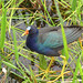 Purple Gallinule - Boynton Beach, FL