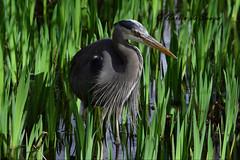 Great Blue Heron (careth@2012) Tags: heron greatblueheron bird nature wildlife britishcolumbia nikon d3300 beak feathers nikond3300