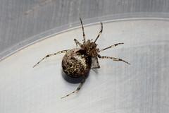 Captured 220618 IMG_0295 (clavius2) Tags: spider theridiidae sp species black white banded legs macro north east england uk arachnid