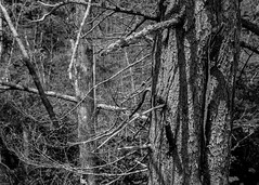 The Maine woods (Richard Beech Mansfield) Tags: canonef50mmf18