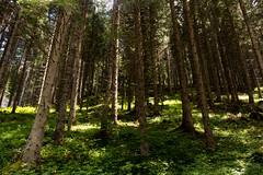 Foresta (MilleLuci) Tags: verde forest foresta mountain braies pragser tree trees montagna montagne green luce milleluci light sun summer estate pini altoadige
