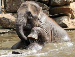 asiatic elephant Blijdorp JN6A0224 (j.a.kok) Tags: olifant elephant asia asiaticelephant azie aziatischeolifant animal blijdorp mammal zoogdier dier herbivore