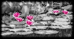 Pink Water Lilies (dgjeffery1969) Tags: blackandwhite bnw water lilies flowers pond lily pads pink